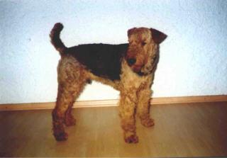 Polizeihund Arco v. roten Milan/HD-A2